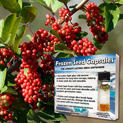 brazilian-pepper-seeds-schinus-terebinthifolius-20-rare-tropical-flowering-tree-seeds-packed-in-froz