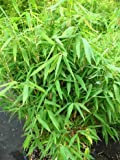 Bambus China Rohrgras Fargesia murielae Jumbo 40 - 60 cm hoch im 3 Liter Pflanzcontainer