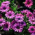 30Pcs African Blue Eyed Daisy Seeds Osteospermum Seeds Mix Color Flowe