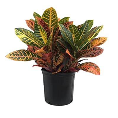 AMERICAN PLANT EXCHANGE Petra Croton Live Plant, 3 Gallon, Indoor/Outdoor Air Purifier : Garden & Outdoor
