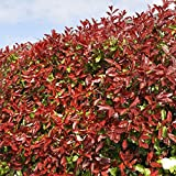 Red Robin Hedging Plants 20-40cm Photinia Christmas Berry Evergreen Hedge Potted (10 Plants)