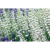 """Findlavender - Lavender EDELWEISS (White Flowers) - 4"""" Pots - Zones 5 - 10 - Bee Friendly - Attract Butterfly - Evergreen Plant - 4 Live Plants"""