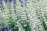 Findlavender - Lavender EDELWEISS (White Flowers) - 4'' Pots - Zones 5-10 - Bee Friendly - Attract Butterfly - Evergreen Plant - 8 Live Plants