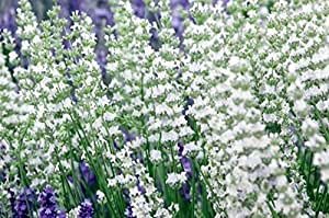 "Findlavender - Lavender EDELWEISS (White Flowers) - 4"" Pots - Zones 5 - 10 - Bee Friendly - Attract Butterfly - Evergreen Plant - 4 Live Plants"