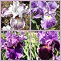 4 Tall Bearded Irises - Iris 4 Combo Pack - Tall Bearded Iris Rhizome Upc 656793276896 Purple