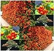 1,000 x Scarlet Firethorn Shrub Seeds Pyracantha coccinea SHOWY FLOWER ~ A+ BONSAI - By MySeeds.Co