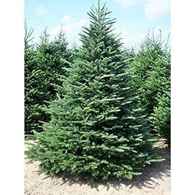 3 Balsam Fir Trees18-24 Inch Christmas Tree Evergreen Live Plant Plants