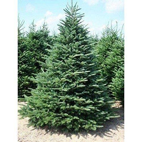 3 BALSAM FIR TREES18-24 INCH CHRISTMAS TREE EVERGREEN LIVE PLANT PLANTS (Christmas Live Trees)