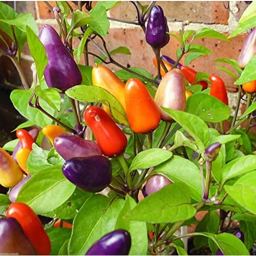 30+ ORGANICALLY GROWN Aurora Hot Pepper Seeds Heirloom NON-GMO Spicy, From USA