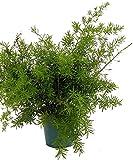"""Asparagus Sprengeri Fern - Asparagus - 4"""" Pot - Easy to Grow - Great Houseplant"""