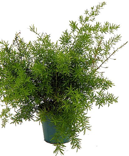Asparagus Sprengeri Fern - Asparagus - 4