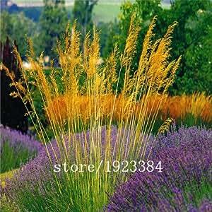 100 Campanula -. De fácil cultivo y semillas auto semillas ornamentales semillas, semillas de vid y escalador hierba