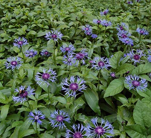 Bachelor Buttons Perennial - Centaurea Montana - Quart Pot#hgs1247