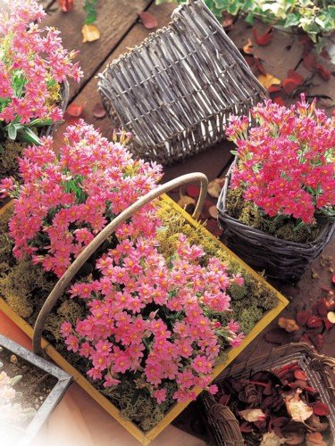 25 Seeds Helichrysum Porcelain Rose Annual
