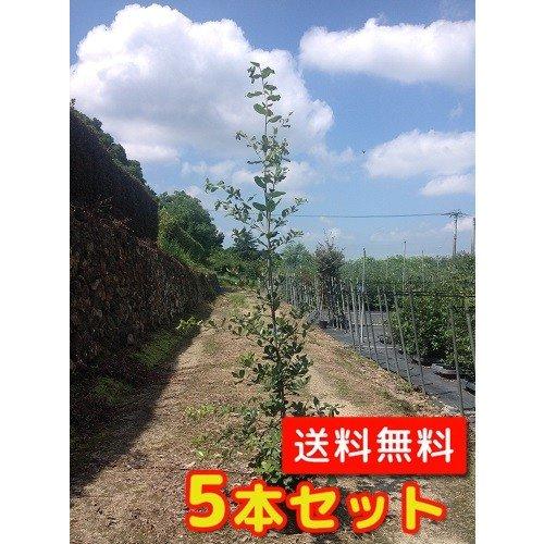 【ノーブランド品】ウバメガシ樹高1.0m前後15cmポット【5本セット】 B00W4VXEVK