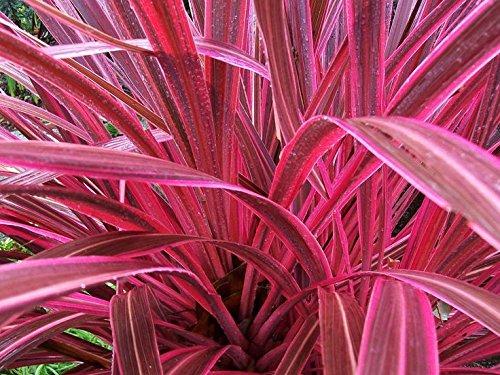 FIREWORKS Ornamental Grass Perennial Non-invasive Fountain Grass WOW!! Hot Pink! by yuni110