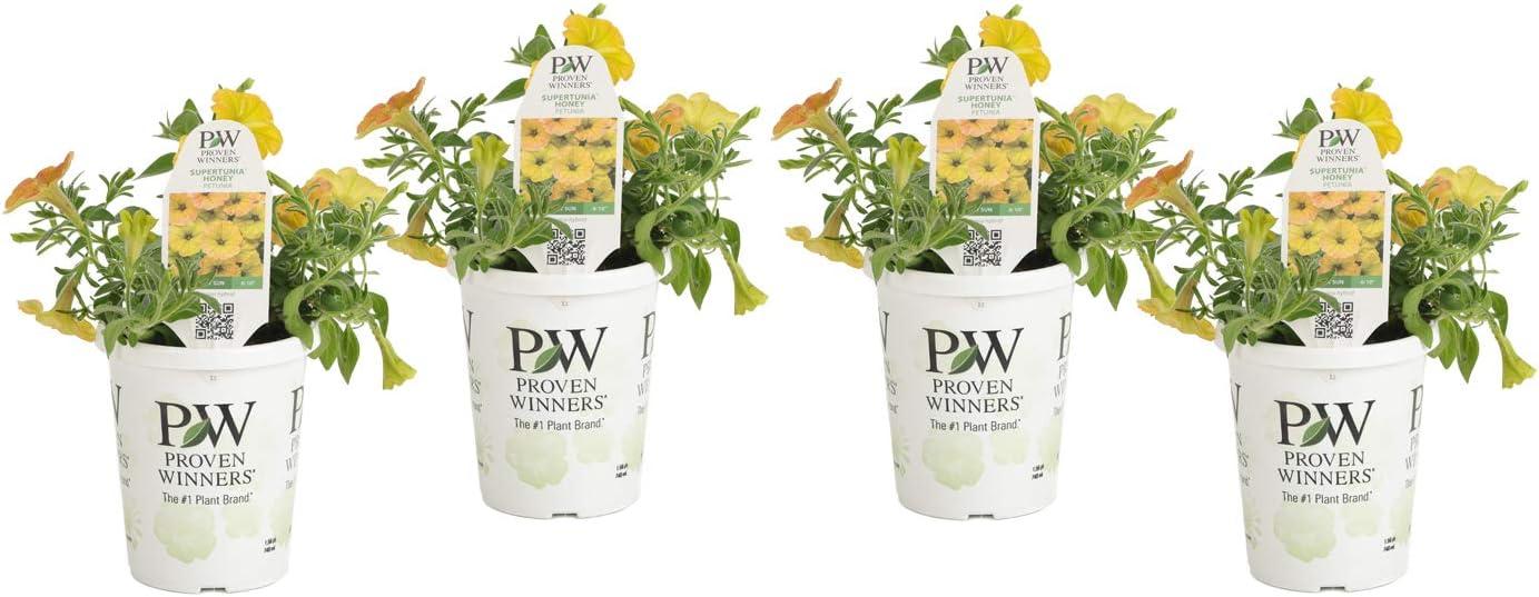 Proven Winners SUPPRW1417524 4-Pack Supertunia Honey Live Plants, 4.25