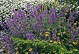6 Starter Plants of Nepeta X Faassenii