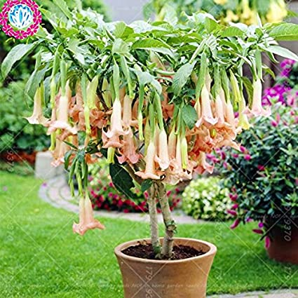 Amazon datura flower seeds tropical plant seeds aromatic white datura flower seeds tropical plant seeds aromatic white angels trumpet flower indoor bonsai seed for home mightylinksfo