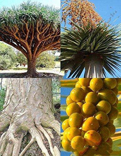 100 Seeds Dracaena draco, rare Dragon's Blood Tree Canary Island palm bonsai seed