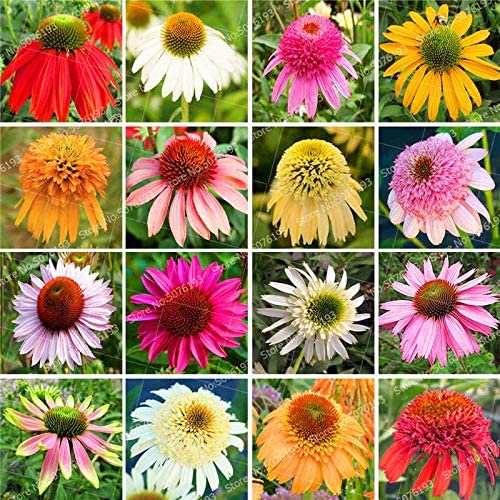1 SANHOC 100 Seltene Japan Echinacea Purpurea Bonsai Pflanze sch/öne Daisy Blume Pflanzen zu Hause Gartenpflanzen leicht Bonsai Blume Pflanze wachsen