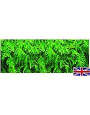 1 Bunch - Fontinalis Antipyretica Oxygenating Pond Plant - Fish or wildlife pond and bog aquatic plants