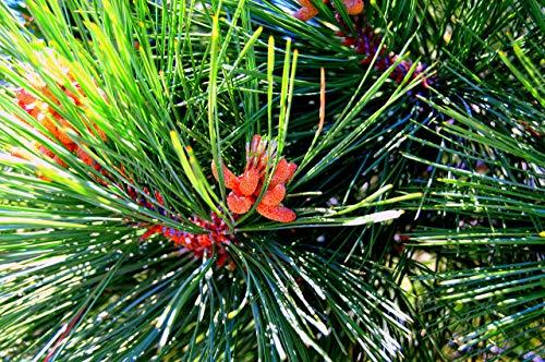 (Pine Tree Tip Fine Art Photo)