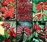 Naked Coral Tree 10 Seeds - Erythrina- Outdoors/Bonsai by Hirts: Seed; Tropical