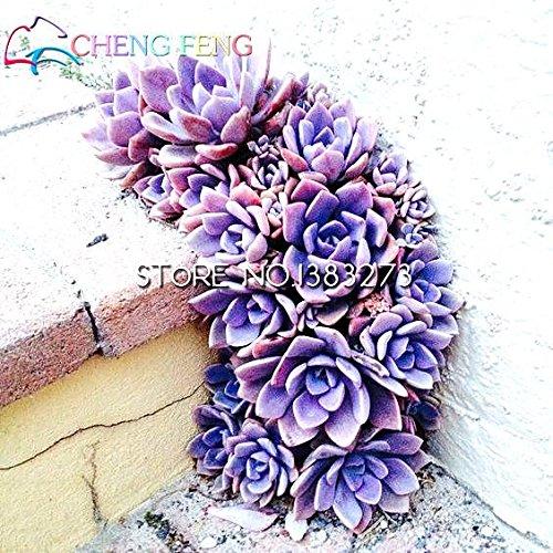 50pcs Bonsai Samen Blumen Indoor fleischiger Pflanze Lithops Samen Stone Flower Sukkulenten Samen Topfpflanzen Kaktus Mini Dekoration