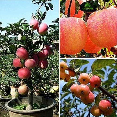 Dovlen 20pzas Manzana Semillas de Árboles Jardín Yarda Exterior Cuarto de Estar Fruta Planta Fascinating Bonsái Decoración