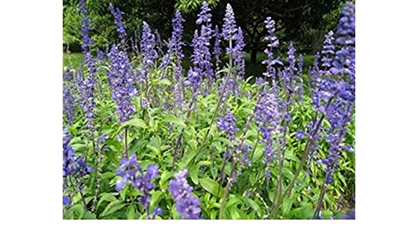 Chia- Salvia Hispanica- 250 Semillas: Amazon.es: Jardín