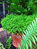 Perennial Farm Marketplace Selaginella kraussiana 'Aurea' ((Krauss' Gold Tips Spikemoss) Hardy Fern, 1 Quart, Lime Green Leaves