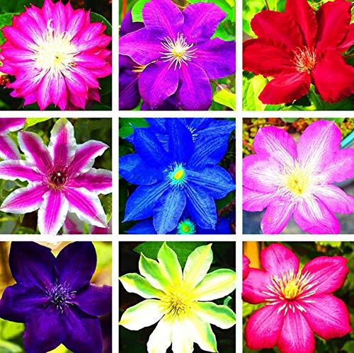 TOPmountain Clematis Flower Seeds 100pcs Climbing Plants Seeds Beautiful Mixed Color Garden Supplies Easy To Grow (Grow Vine Clematis)