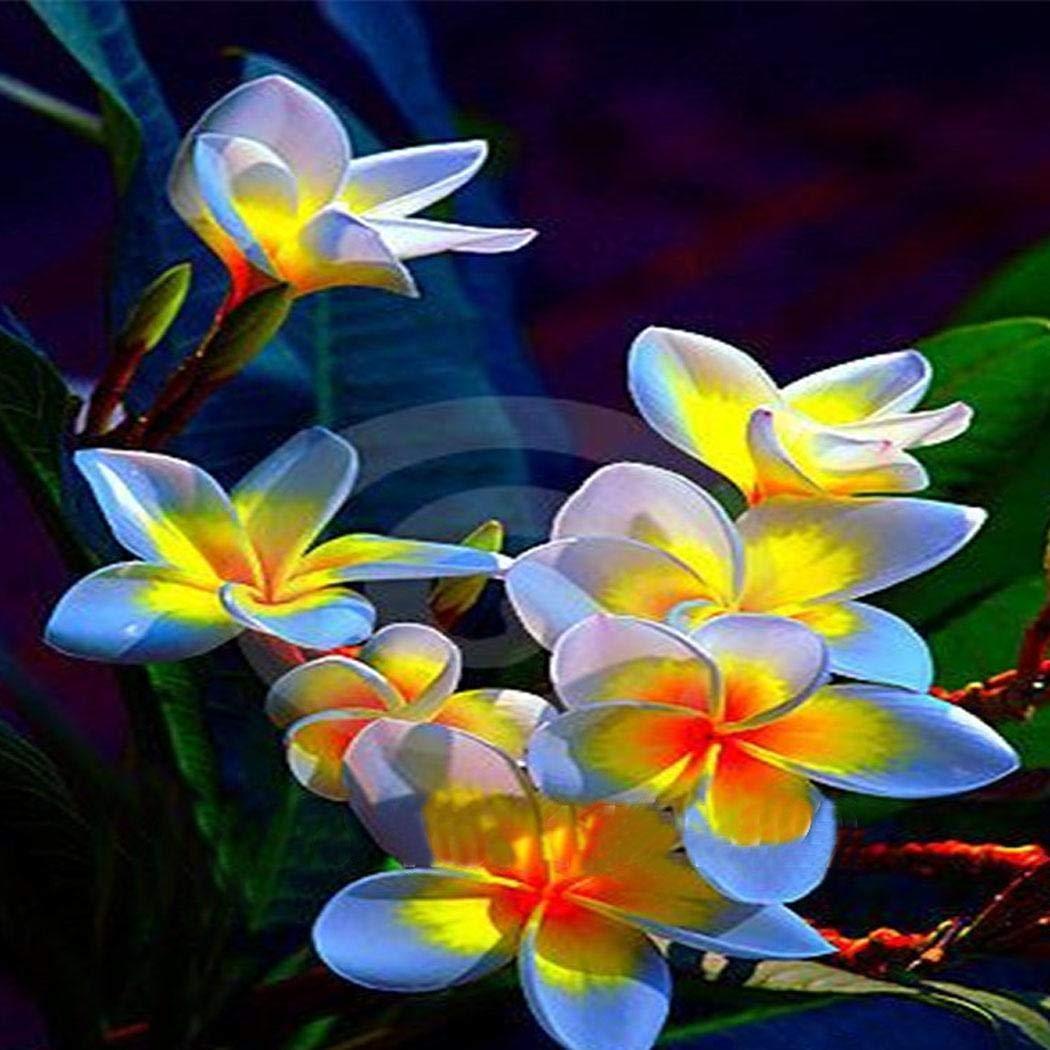 pflegeleicht Blumen Samen wunderbar als K/übelpflanze,mehrj/ährige Pflanze AIMADO Samenhaus-50 St/ück Frangipani Blumensamen wundersch/önen Bl/üten /& unvergleichlichen Duft