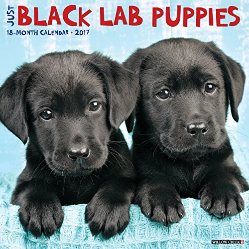 Just Black Lab Puppies - 5