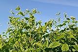 Common Buckwheat (25 LBS)