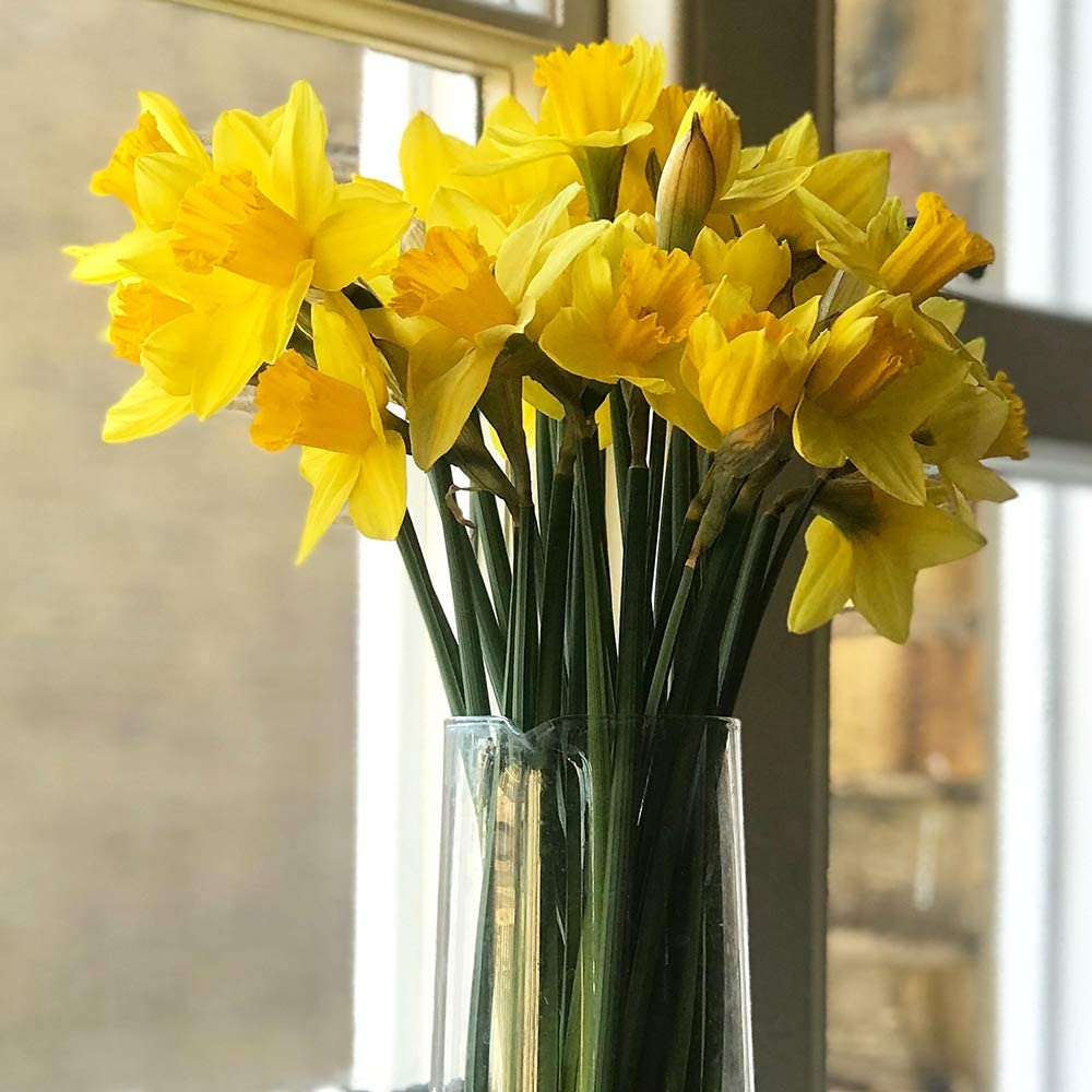 for a Beautiful Spring Garden Fragrant Buttercup Yellow Petals and Yellow Orange Cups 30 x Dwarf Daffodils Tete A Tete
