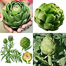 [Free Shipping] 20seeds Green Globe Artichoke Cynara Scolymus Garden Vegetable Seeds // 20seeds les semences de légumes de jardin vert artichaut Cynara