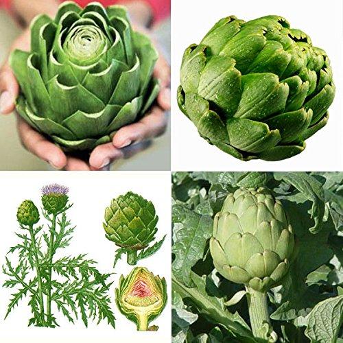 [Free Shipping] 20seeds Green Globe Artichoke Cynara Scolymus Garden Vegetable Seeds // 20Seeds semillas huerta verde alcachofa Cynara scolymus (Cynara Artichoke)