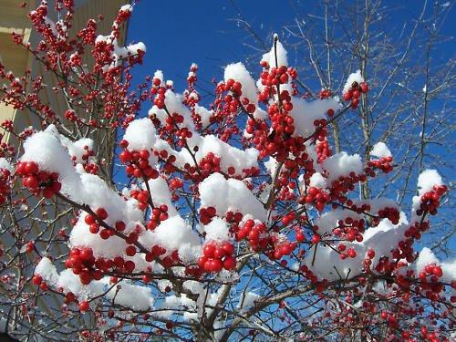 - Winterberry Holly, Ilex verticillata, Shrub Seeds (Hardy, Showy) 200 seeds