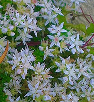 Sedum dasyphyllum gorgeous cornish stonecrop green leaved and white sedum dasyphyllum gorgeous cornish stonecrop green leaved and white star flowers hardy ground cover pplant in mightylinksfo
