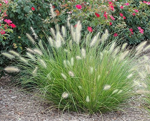 1 Starter Plant of Little Bunny Fountain Grass