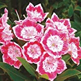 Pink White Mountain Laurel Seeds 75 Seeds (Kalmia Latifolia) Upc 643451295788