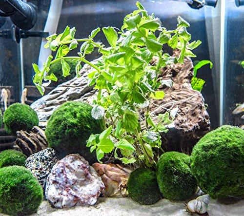 Water Wisteria (Hygrophila difformis) - 6 to 8 inch Bunch - Live Aquarium Plant by Aquatic Arts