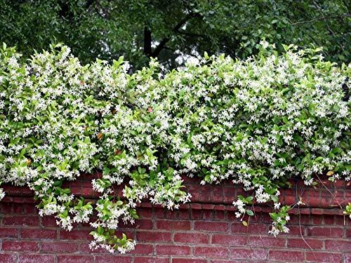 Confederate Jasmine Variegated - 60 Live Plants - Trachelospermum Jasminoides Variegatum - Fragrant Blooming Evergreen Vine by Florida Foliage (Image #2)