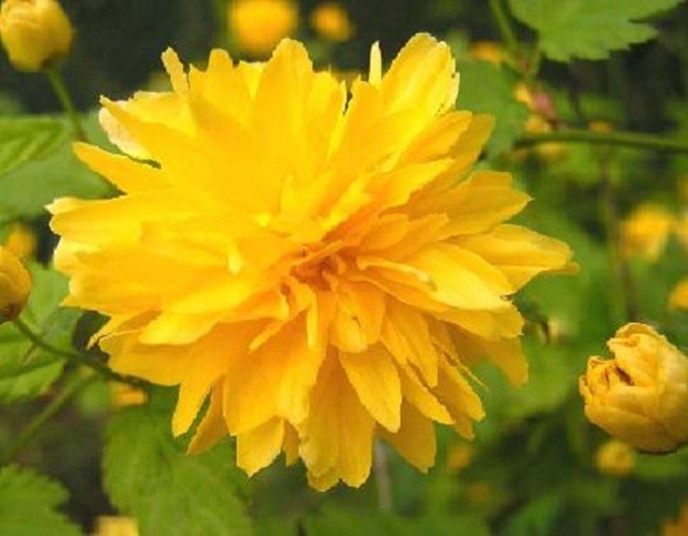 Kerria Japonica Pleniflora Shrub 60cm Supplied in a 9cm Pot Direct Plants
