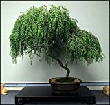 Bonsai Dwarf Weeping Willow Tree - Large Thick Truck - Ready to Plant - Get a Rare Dwarf Bonsai Tree Very Fast