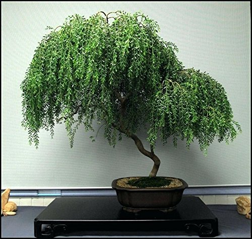 Bonsai Dwarf Weeping Willow Tree - Large Thick Truck - Ready to Plant - Get a Rare Dwarf Bonsai Tree Very Fast by CZ Grain