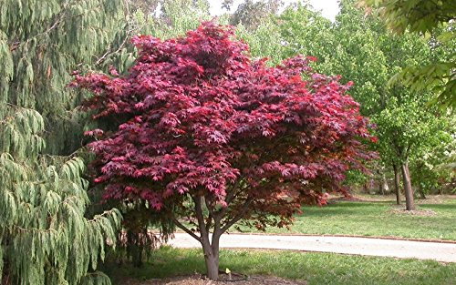 Japanese Red Maple Tree (2-3 feet tall} by Japanese Maples and Evergreens (Image #3)