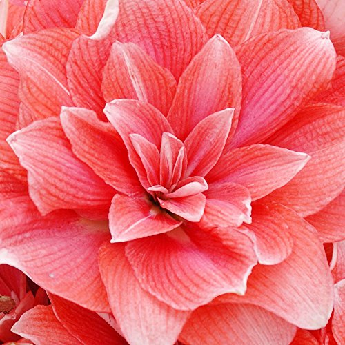 Amaryllis 1 Double Flower Bulb - Double Dream Double Amaryllis 1 Bulb - New! - 32/34 cm Bulb
